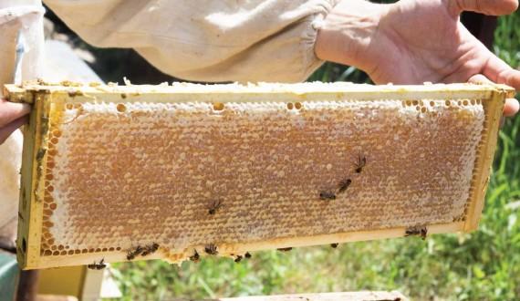 Qu'est-ce que l'extraction du miel et comment cela fonctionne
