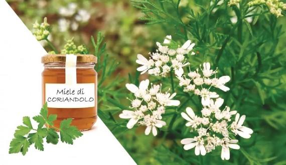 Miele di coriandolo: proprietà, composizione e utilizzi