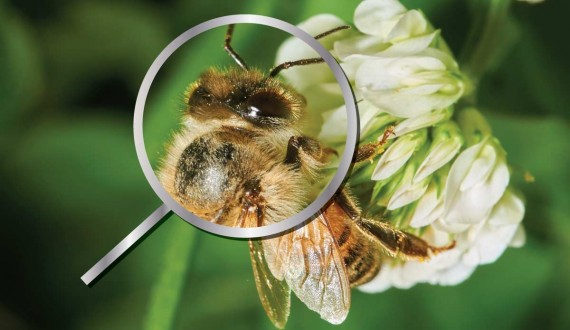 The five eyes of bees