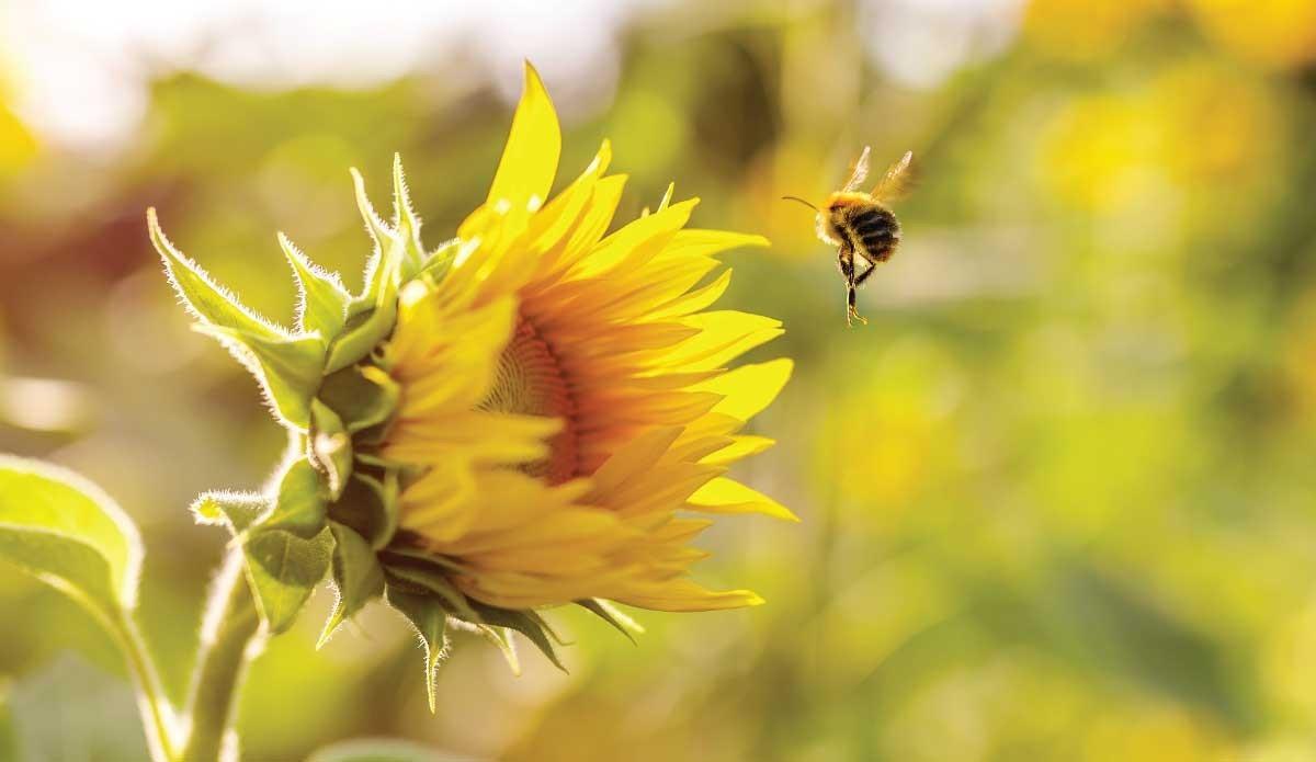 Le vol des abeilles : au-delà des lois de la physique