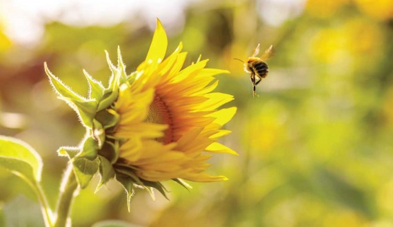 The flight of bees: beyond the laws of physics