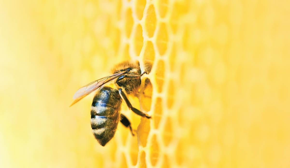 Il ruolo dell'ape regina