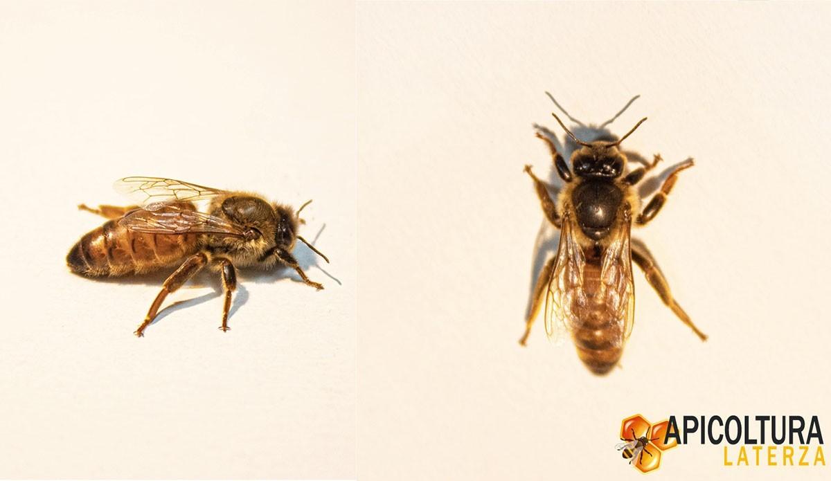 Api regine Buckfast: le regine fra le api d'allevamento