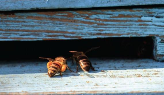 La gerarchia delle api negli alveari