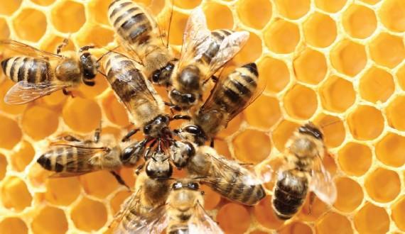 Le api regine e la pappa reale