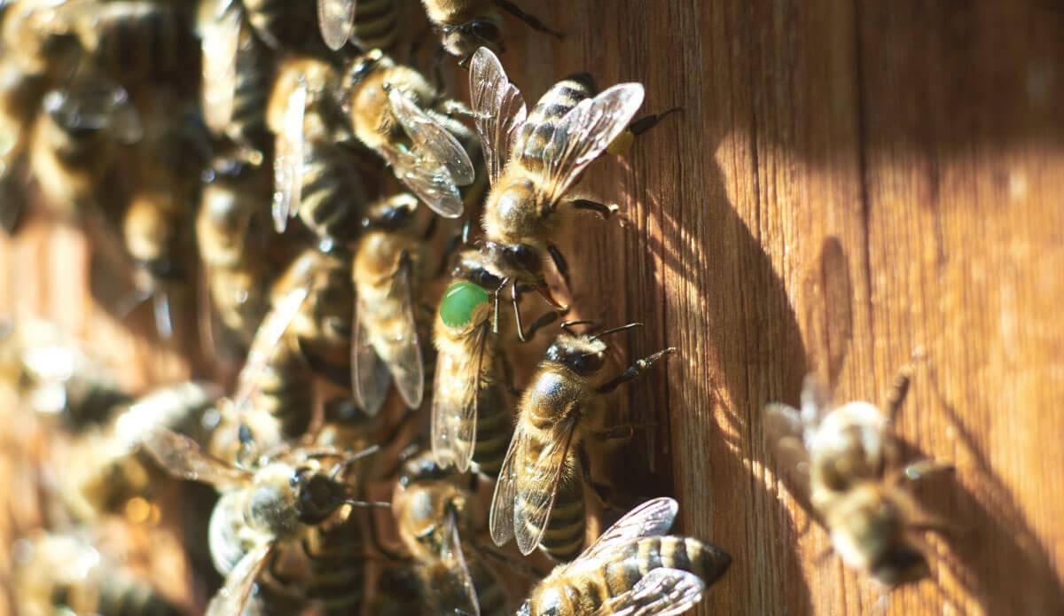 Come nascono e si sviluppano le api regine
