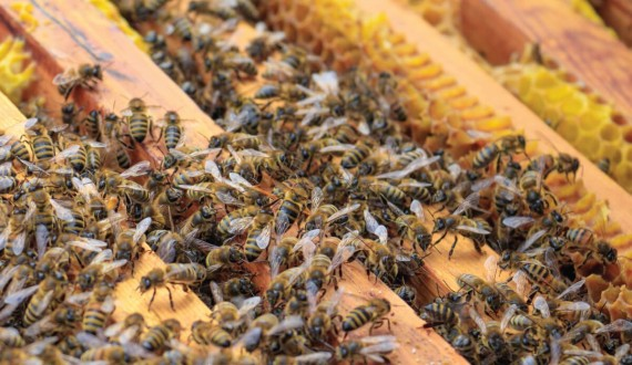 Queen bees and swarming
