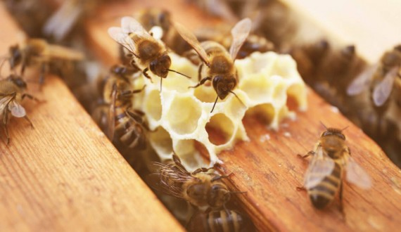 Comment les reines d'abeilles sont élevées