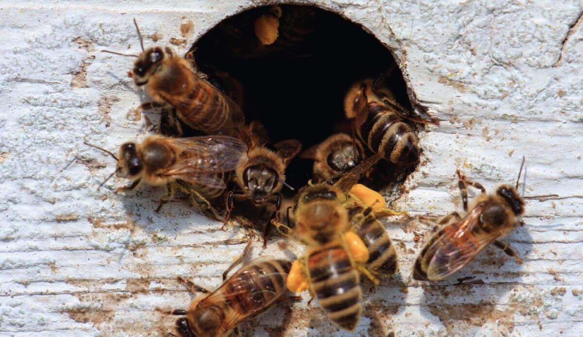 Famiglie di api e nuclei: dove e quando acquistare