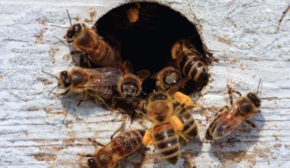 Familles et noyaux d'abeilles: où et quand acheter