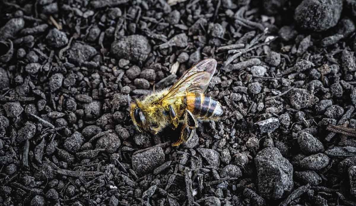 Quanto tempo vive un'ape Regina