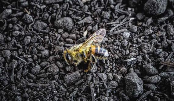 Combien de temps vit une reine des abeilles