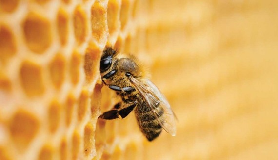 How bees produce Royal Jelly