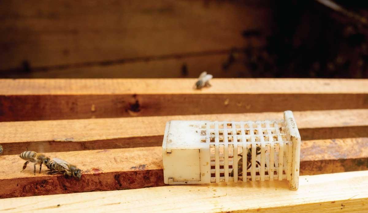 Reines des abeilles et phéromones : ce qu'elles sont et à quoi elles servent